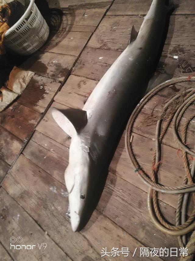 聽說鯊魚肉好吃,嘗嘗? - 每日頭條