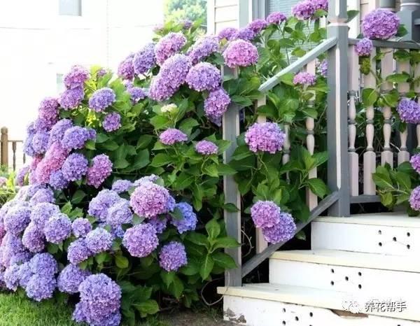 繡球花栽培方法和注意事項 - 每日頭條