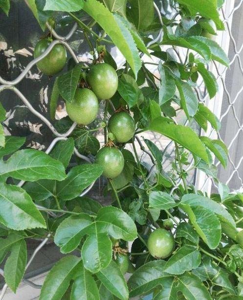 一顆百香果的種植方法,建議收藏 - 每日頭條