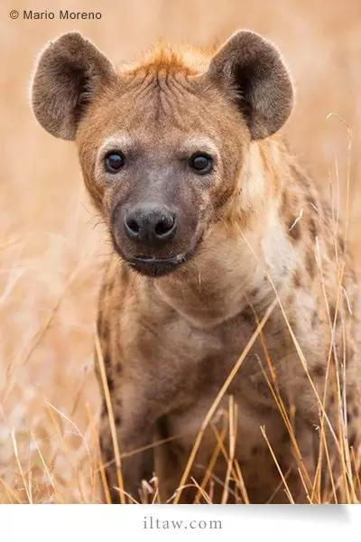 斑鬣狗-咬合力最強的陸地哺乳動物 - 每日頭條