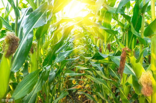 新型玉米栽培技術,方法都在這裡,來學一學 - 每日頭條
