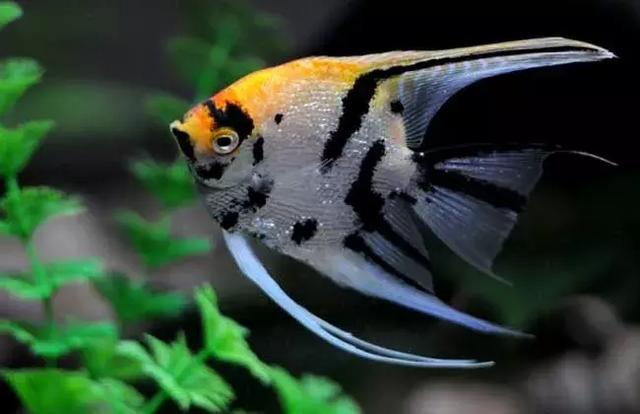 神仙魚:熱帶魚皇后 - 每日頭條