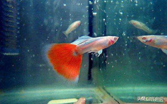 孔雀魚飼養小技巧。一個魚缸里孔雀魚公母魚這樣配比。越養越多魚 - 每日頭條