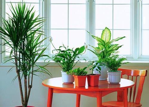 既能凈化空氣又能招財納福的幾種盆栽,很適合養在家裡,你知道嗎 - 每日頭條