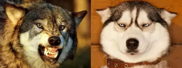 你從哪裡來?我的狗友 狗狗的起源和馴化 - 每日頭條
