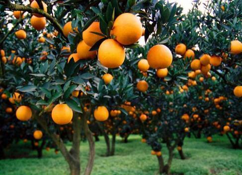 四類柑橘樹的修剪技巧有哪些? - 每日頭條