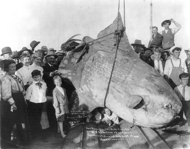 翻車魚:海洋中最大的硬骨魚! - 每日頭條