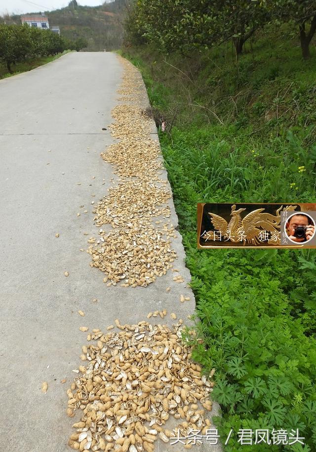 鄉村攝影紀實:花生種殼撒在路上任人踩踏,為啥不能燒或做肥料? - 每日頭條