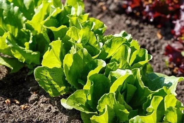 生菜的播種時間和種植方法介紹 - 每日頭條
