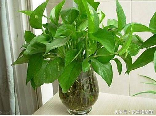 養好綠蘿盆栽很簡單。注意這幾個問題。你也可以養爆盆爬牆 - 每日頭條