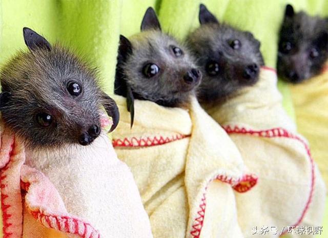 搞不清狀況的你別再害怕蝙蝠了。它們比你想像中的要萌很多 - 每日頭條