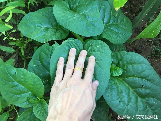 農村裡天然的「高鈣菜」。吃起來有木耳的味道。植株能長到兩米高 - 每日頭條