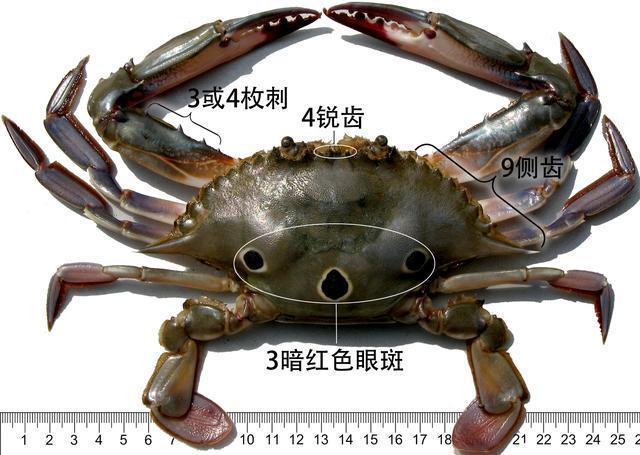 蟹考記(二)——圖鑑全球各種常見食用蟹A - 每日頭條