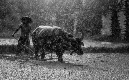 農村耕地用的牛是什麼品種的牛?怎樣讓牛耕地?方法有哪些? - 每日頭條