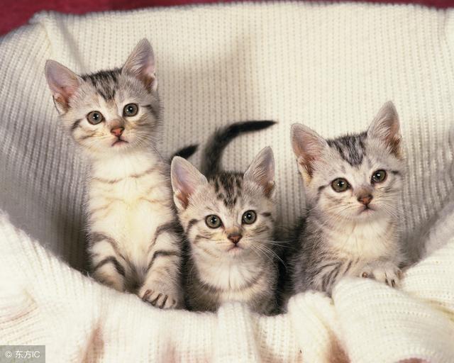 貓傳染性腹膜炎——高死亡率背後的真相 - 每日頭條