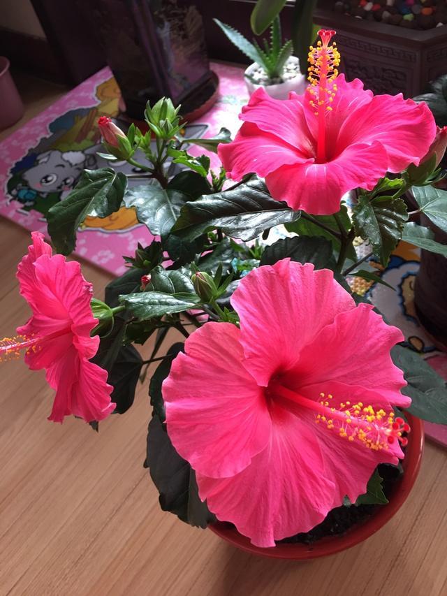 花期最長的盆栽植物,四季花開不斷,漂亮又喜慶,號稱開花機器 - 每日頭條