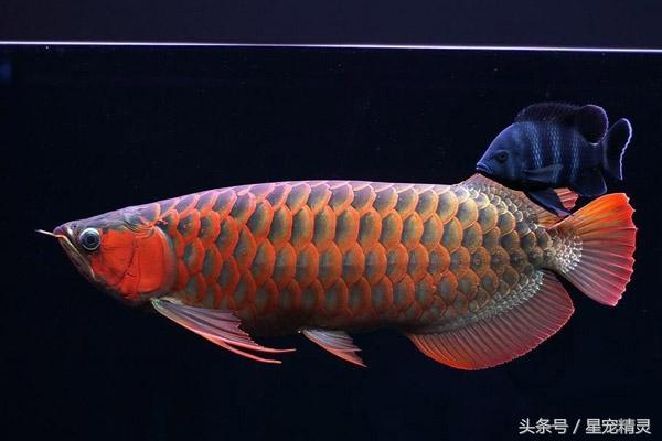 有「魚類活化石」之稱的龍魚種類-2 - 每日頭條