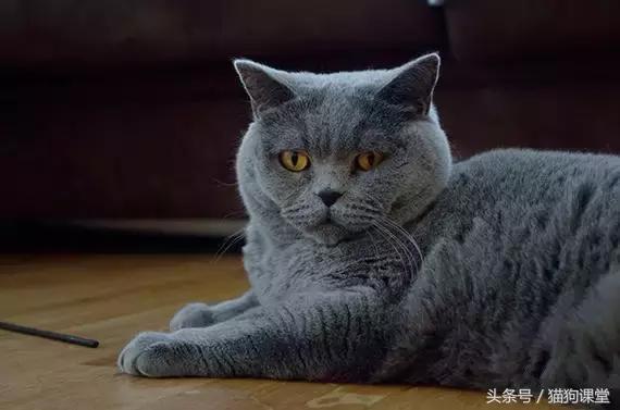 世界三大藍貓之沙特爾貓 - 每日頭條