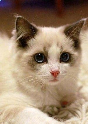 為什麼貓咪會得腸胃炎?貓咪腸胃炎的癥狀 - 每日頭條