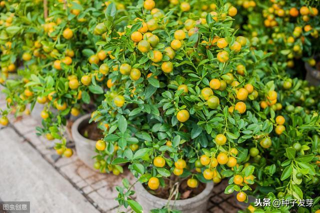 找齊了!13種最適合種植的盆栽水果 - 每日頭條