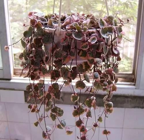 別只知道綠蘿,吊蘭了,這4種心形的花比它們好看10倍! - 每日頭條