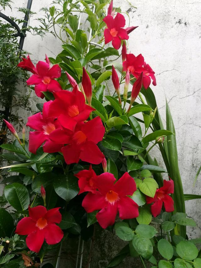 新型藤本花卉,漂亮不輸鐵線蓮,種植容易,四季開花,陽臺變花園 - 每日頭條