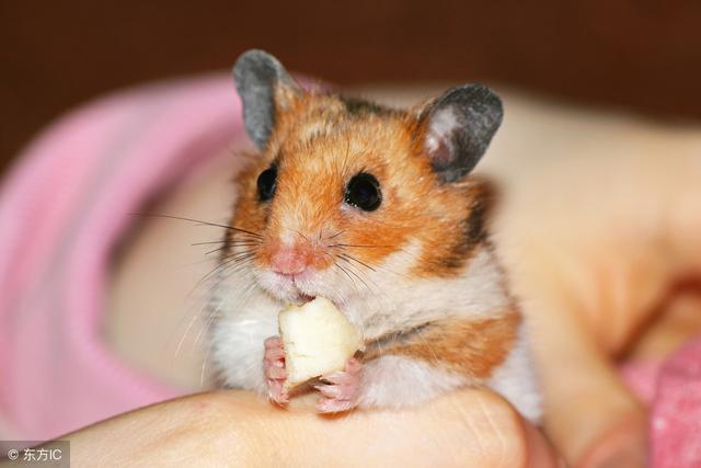 銀狐倉鼠怎麼訓練 廁所里放上貓沙和墊材來吸引 - 每日頭條
