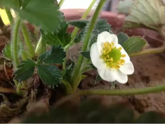 草莓苗長得壯壯的,就是不開花,什麼原因,怎麼辦? - 每日頭條