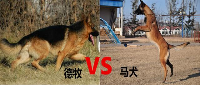馬犬和德國牧羊犬哪個好?哪種最合適家庭飼養 - 每日頭條