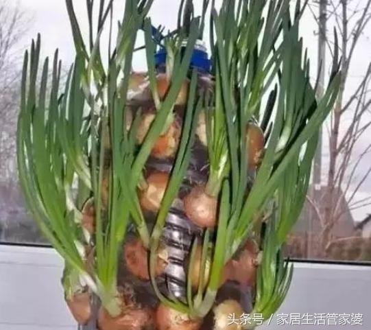 洋蔥的種植方法,7天發芽!一個月變身最美小盆栽 - 每日頭條