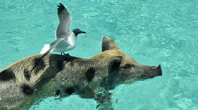 巴哈馬有一個豬島。完全顛覆你的想像的豬...... - 每日頭條