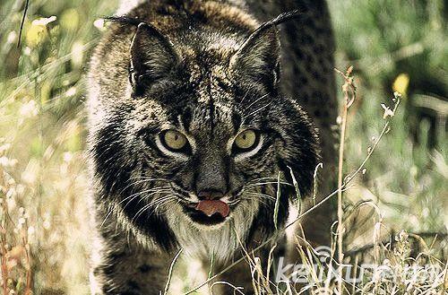 動物世界瀕危物種:伊比利亞猞猁面目可憎 - 每日頭條