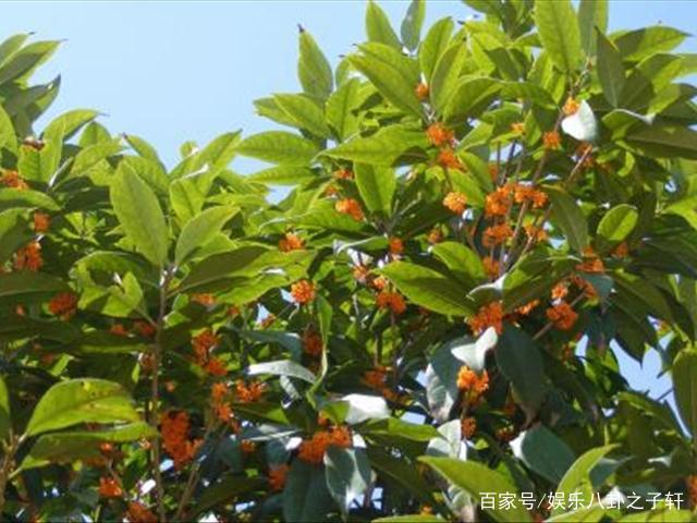桂花樹怎樣種植,桂花樹種植技術 - 每日頭條