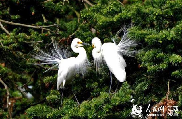 生態優美「引鷺築巢」 南昌象山森林公園迎來鷺鳥繁衍季 - 每日頭條