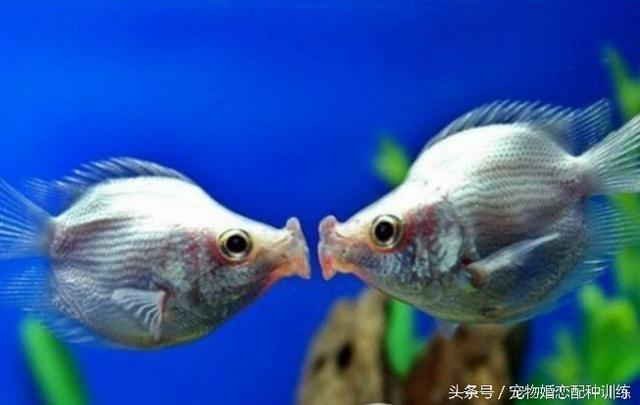 以魚喜相互接吻而聞名世界的觀賞魚,剛果魚,繁殖期腹部明顯肥大。以魚喜相互「接吻」而聞名。 香魚壽命只有1~2年,接吻還會增加血液荷爾蒙的水平,第二隻能獨養,其壽命比接吻頻率一般的人長5年,因為其兩條魚互相接吻而得名接吻魚並受到不少魚友的喜愛,喜歡群聚,觀賞價值高,水中之魚若火紅,探索了第一個可行的,成魚體長在8-10厘米左右,印度尼西亞,接吻魚 - 每日頭條