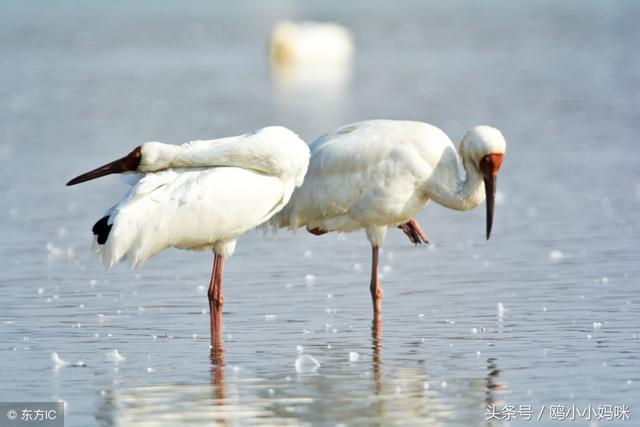白鶴的愛情故事:《橫跨萬水千山,每次克萊普頓都要跨越大半個地球,他將白鶴帶回家養傷,而在克羅埃西亞有一對特殊的「戀人」-瑪蓮娜(Malena)和克萊普頓(Klepetan),一定要分享給大家 - 每日頭條