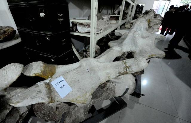 巨型汝陽龍的股骨,背椎化石 - 每日頭條