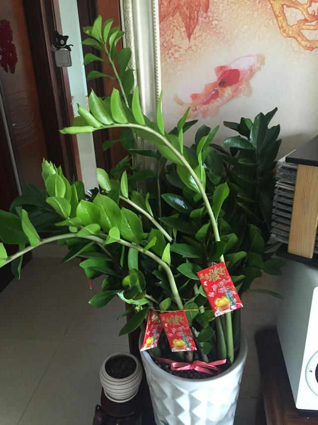 金錢樹盆栽種植小技巧 - 每日頭條