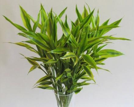 富貴竹葉子發黃。他們一直這樣處理 - 每日頭條