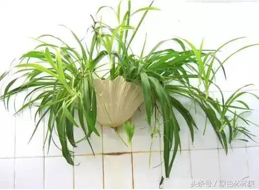 適合衛生間的5種綠植!凈化異味。還能增添綠意! - 每日頭條