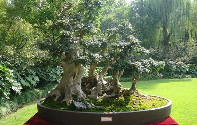 桂花樹盆景的修剪方法是什麼 桂花樹盆景為什麼要修剪 - 每日頭條