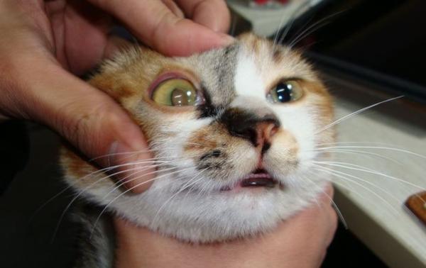 貓咪打噴嚏感冒怎麼辦?貓咪打噴嚏不斷 - 每日頭條