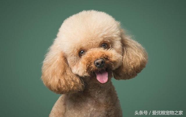 你不得不知的貴賓犬——貴賓犬的優點和缺點大公開 - 每日頭條