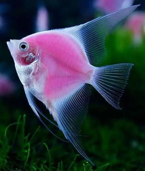 絕美神仙魚,驚艷! - 每日頭條