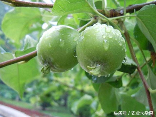 這場雨後,果園濕度大,易引發多種病蟲害!果園該打什麼藥 - 每日頭條