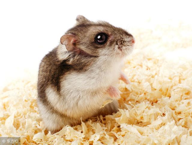 選一隻健康不咬人性格好的倉鼠需要注意的事項 - 每日頭條
