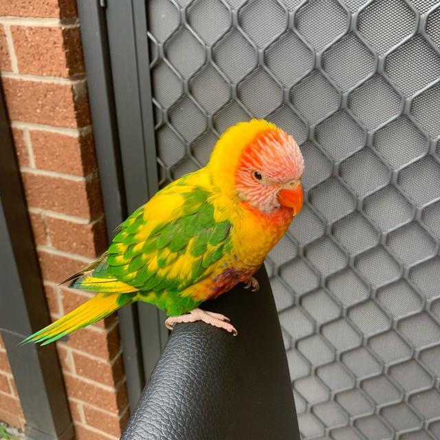 家裡闖進一隻怪物鸚鵡。吸蜜的頭金太陽的身體。這是雜交新品種? - 每日頭條