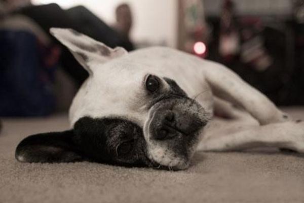 狗狗扭傷傷的是筋。骨折傷的是骨。兩者要區分開來! - 每日頭條