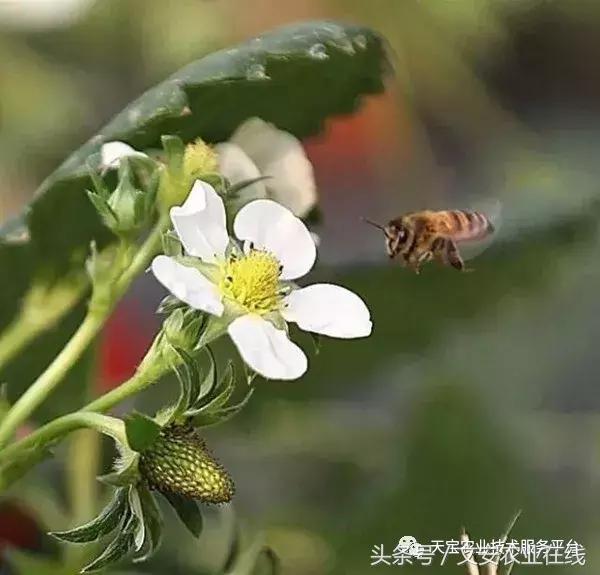 草莓大棚現花蕾,蜜蜂授粉要相隨! - 每日頭條