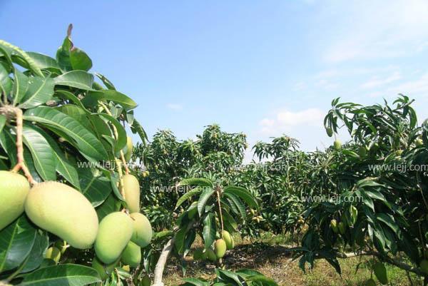 芒果盆栽怎麼種。芒果盆栽種植方法 - 每日頭條